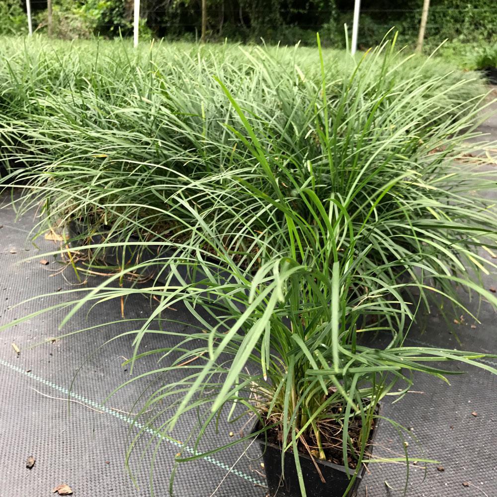 4in-Mondo-Grass
